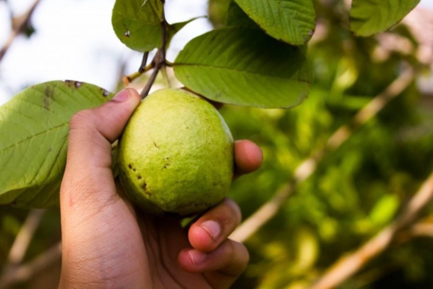 Saiba mais sobre os muitos benefícios da folha de goiaba