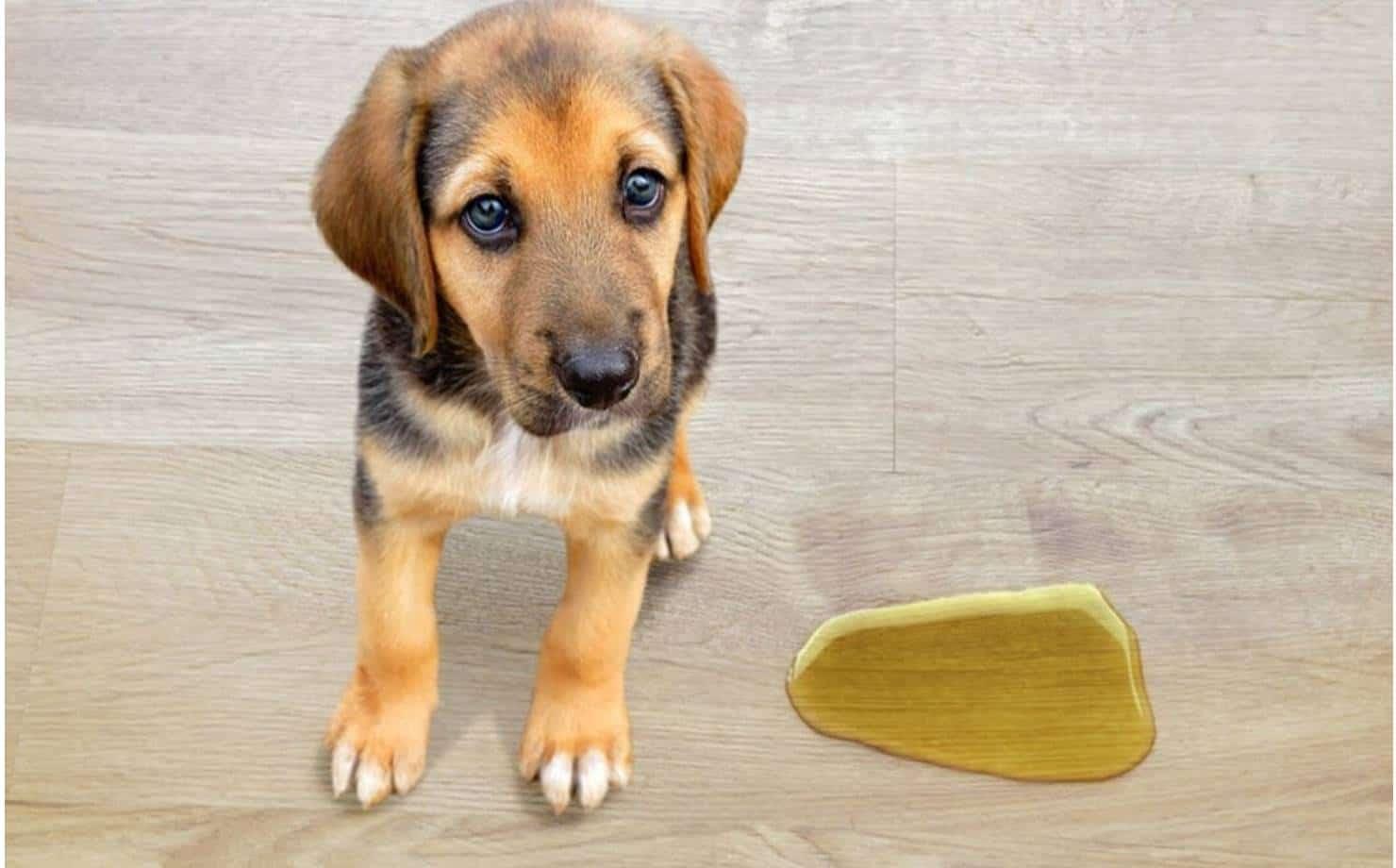 3 erros ao limpar a urina do seu cão que multiplicam o mau cheiro