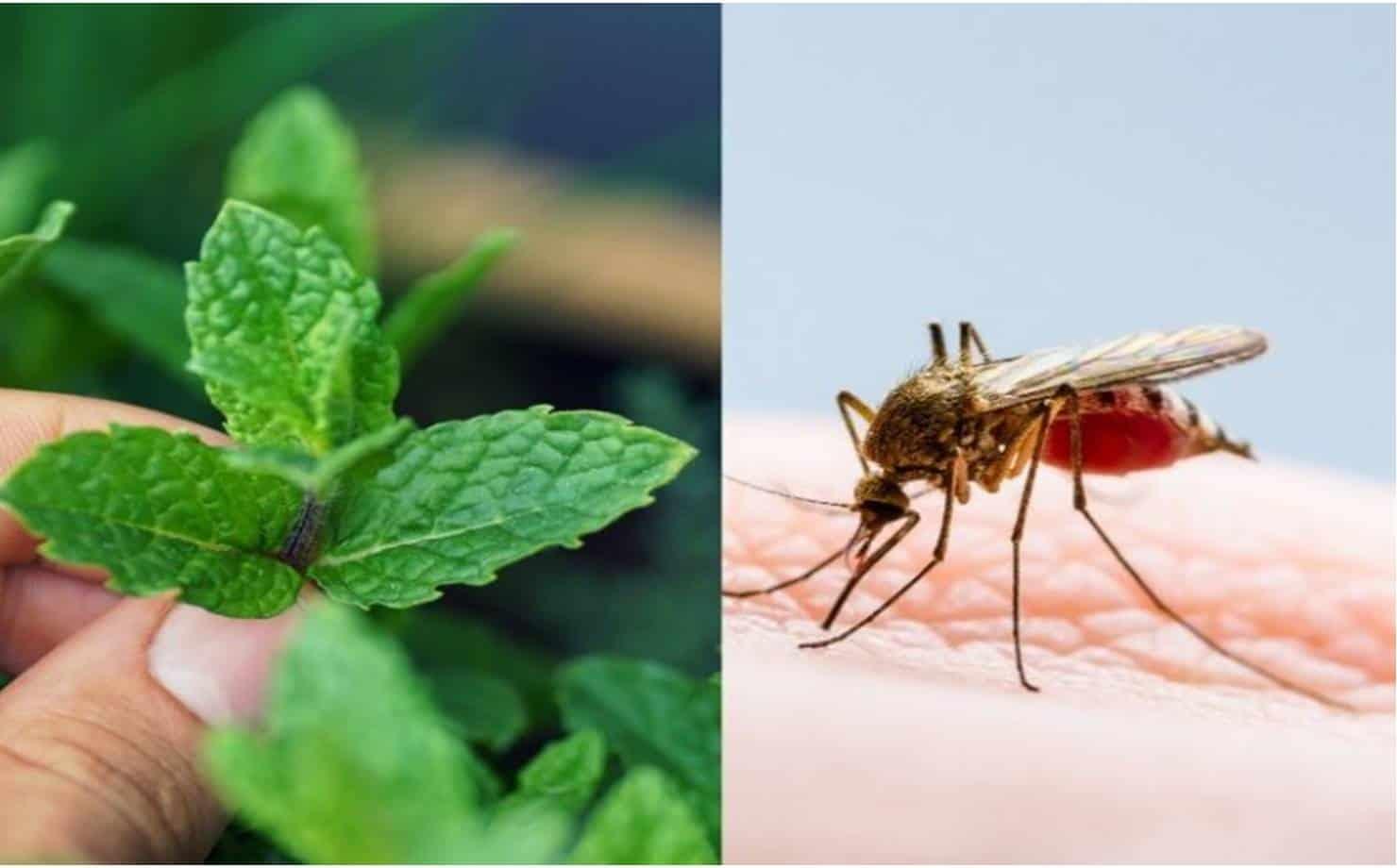 3 plantas que você precisa ter em casa para repelir os mosquitos