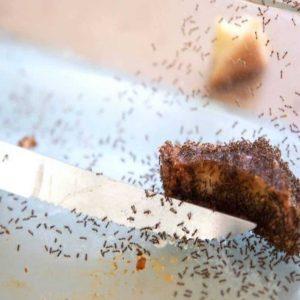 Formigas e Faca