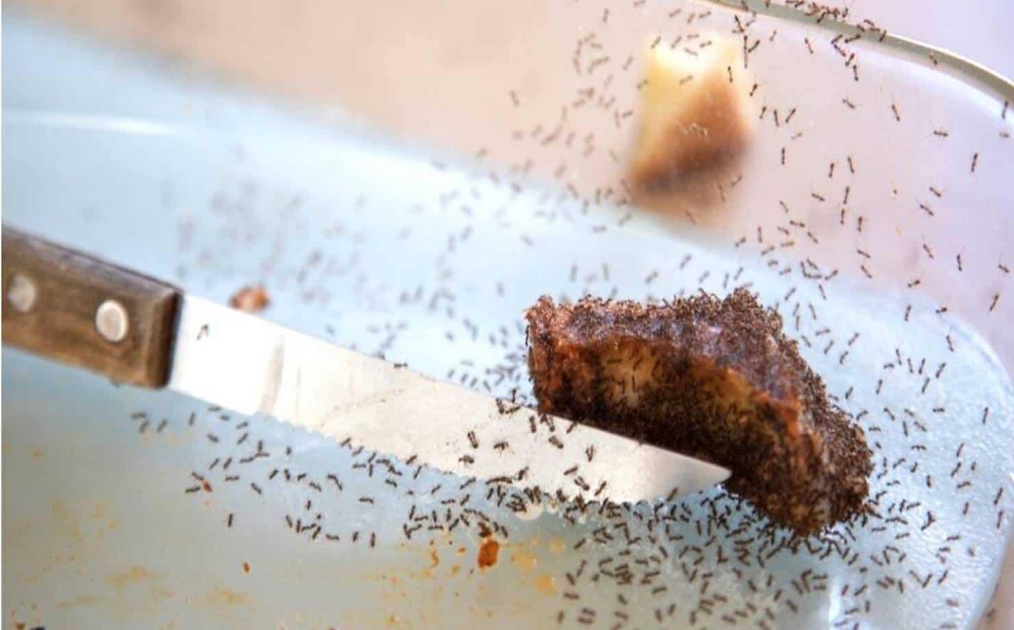 3 métodos naturais para remover formigas do lar